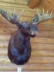 Bull Moose Shoulder Mount